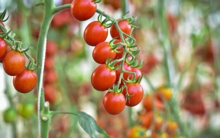 organic tomatoes on a vine